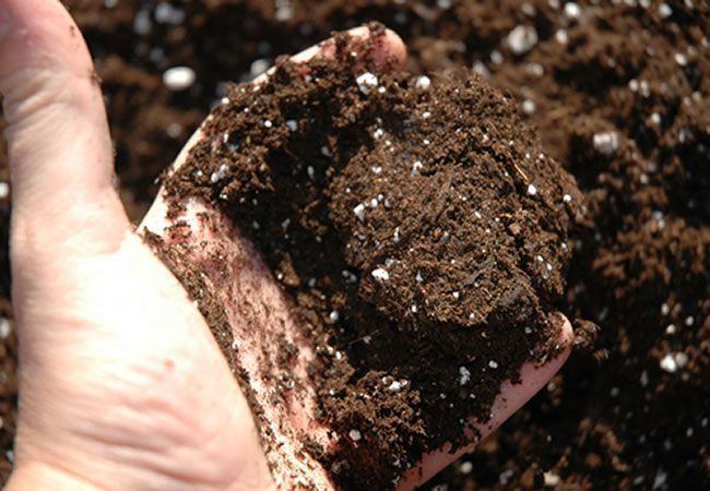 El grano germina y va creciendo